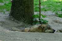 Vlk v ZOO Praha